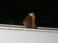 Mycalesis anaxias (dhobern) Tags: 2018 china lepidoptera march xtbg xishuangbanna yunnan nymphalidae satyrinae mycalesisanaxias