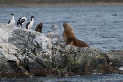 Lobos Marinos- Gaviota gris y Cormorán Imperial (robertopastor) Tags: antarctica antarctique antarktika antartic antártida fuji robertopastor xt2 xf14xtc xf100400 ushuaia canal beagle