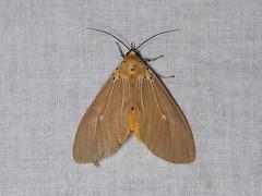 Asota caricae (dhobern) Tags: 2018 china lepidoptera march xtbg xishuangbanna yunnan erebidae asotacaricae aganainae
