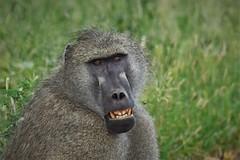 Chacma smile (Rudi Verspoor) Tags: baboon animals grass teeth park safari savanna africa southafrica d7200 nikon telephoto 55300 nature