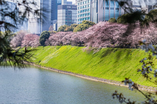 Cherry Blossom along the river 半蔵壕の桜