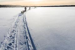 Crossing the Wolf Lake, Alaska (Markus Trienke) Tags: frozen snow cold ice winterwonderland winter mushing dogsledding dogs dog nenana alaska usa us