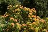 Протея (Oleg Nomad) Tags: африка юар кейптаун кирстенбош ботаническийсад растения цветы протея africa capetown kirstenbosh botanicalgarden vegetation flowers protea travel