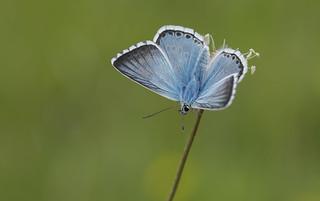 Chalkhill Blue (Polyommatus coridon).