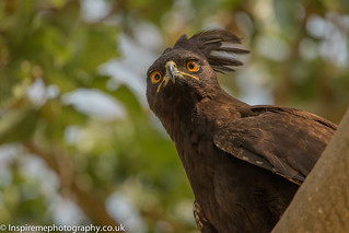 Up close to a Long crested Eagle