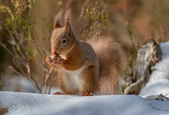 DSC3693  Red Squirrel... (jefflack Wildlife&Nature) Tags: redsquirrel squirrel squirrels animal animals highlands forest caledonian countryside cairngorms wildlife woodlands pineforest scotland heather moorland heathland nature