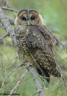 Immature Northern Spotted Owl (Strix occidentalis caurina) - WA