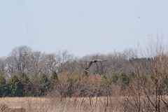 Sandhill Crane in flight (turn off your computer and go outside) Tags: 2015 antigonecanadensis april birdsofminnesotaandwisconsinpage121 delvan turtlecreekwildlifearea wi wisconsin bird blurry artistreference critter earlyspring identified inflight nature outdoors sandhillcrane blurryartistreference