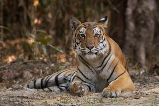 Kanha Tigress (in the wild)