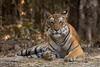 Kanha Tigress (in the wild) (Sharon's Nature) Tags: nationalgeographic shotofday wildcat natgeo panthera tiger cat feline pantheratigristigris kanhanationalpark wild india wildlife tigeress