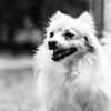 Syre08Apr20186-Edit.jpg (fredstrobel) Tags: dogs pawsatanta phototype atlanta blackandwhite usa animals ga pets places pawsdogs decatur georgia unitedstates us