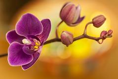 Orchidea (RM) / Orchid (RM) (Stefano Innocenzi) Tags: macro orchidea sfocato oro magica aureola boken