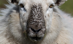 Beady Eyes and Muddy Nose (DP the snapper) Tags: portrait sheep mud animals hopebowdlercaercaradoc nose