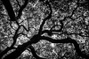 When I Was Younger I Was Hard to Hold (Thomas Hawk) Tags: america california eastbay oakland temescal temescalregionalrecreationalarea usa unitedstates unitedstatesofamerica bw tree fav10 fav25 fav50