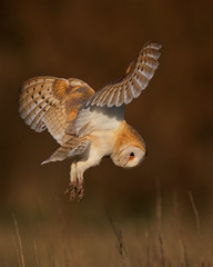Barn Owl (peterchristian820) Tags: owl barn tyto alba