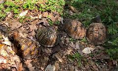 Four in a Row (BKHagar *Kim*) Tags: bkhagar turtle turtles outdoors outside habitat tortoise boxturtle yard