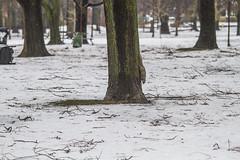 Ice storm debris in Trinity Bellwoods Park (jer1961) Tags: toronto icestorm torontoicestorm icestorm2018 torontoicestorm2018 debris branches fallenbranches fallentree trinitybellwoods trinitybellwoodspark snow ice torontopark squirrel