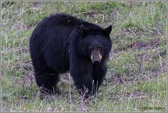 Black Bear 6949 (maguire33@verizon.net) Tags: yellowstone yellowstonenationalpark bear blackbear wildlife