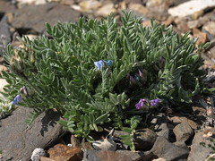 Oxytropis (unnamed species) (Jim Morefield) Tags: bishop california unitedstates fabaceae beanfamily oxytropis angiosperm dicot plant flowers flower blossom bloom rare rareplant wfgna flora wildflower wildflowers cnpsok alpine tundra northamerica monocounty whitemountains sheepmountain greatbasin july whitemountainswilderness inyonationalforest wilderness eswild summer olympus evolt e510 olympuse510 jdm20162492 skyisland taxonomy:family=fabaceae taxonomy:genus=oxytropis geo:alt=3519m pink blue purple 5petals oddshaped roundcluster
