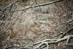 Buds & Ice (flashfix) Tags: april152018 2018inphotos ottawa ontario canada nikon nikond7100 55mm300mm flashfix flashfixphotography weather ice frost frozen branches bud icestorm layered bokeh nature mothernature spring mapletree frosty cold winter lines red budding babyleaves tree