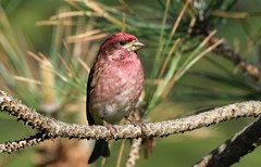 Purple Finch (hd.niel) Tags: purplefinch birds nature wildlife spring finches pine photography ontario
