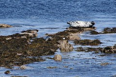 gills bay (walter.innes) Tags: walterinnes crru caithness coastal searching gillsbay seals pentalina