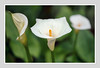 CALLA LILIES (Barry Haines) Tags: sony a7r2 a7rii 65mm voigtlander apo macro lanthar eden project flickrsbest cornwall