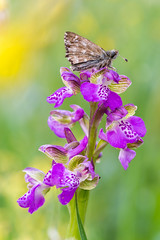 | Orchid's dance | (valerio.clementi) Tags: macro macrophotography italy orchid colors pentaxk1 pentaxitalia dfa100macro nature piediluco lake insectworld ngc