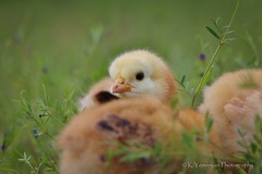 That look! (K.Yemenjian Photography) Tags: chick babychick baby beautyofnature chicks bird closeup macro depthoffield animal fluffy yellow