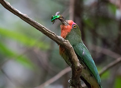 Red-bearded Bee-eater (Simon Best) Tags: