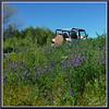 PhotoSafariJeepLupines20180420 (bjarne.winkler) Tags: spring flowers lupines photo safari jeep with top backroad adventures is here