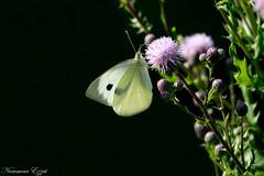 piéride du chou (4) (Ezzo33) Tags: france gironde nouvelleaquitaine bordeaux ezzo33 nammour ezzat sony rx10m3 parc jardin papillon papillons butterfly butterflies piéride du chou