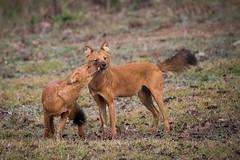 Wild dogs (AnilVarma) Tags: wilddogs animal wildlife dhole nature forest jungle d810 tamron150600 kabini karnataka india