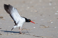 Oystercatcher (Mitch Vanbeekum Photography) Tags: oystercatcher haematopodidae flap flapping sandyhook nj newjersey beach wings sand wildlife wild mitchvanbeekum mitchvanbeekumcom canon14teleconvertermkiii canoneos1dx canonef500mmf4lisiiusm