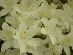 Another White Rhododendron! (Cornishcarolin. Stupid busy!! xx) Tags: cornwall httpswwwnationaltrustorguktrelissick rhododendrons trees nature flowers