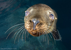 The Playful Pups of Los Islotes (NickPolanszkyPhotography) Tags: nick polanszky underwater photography canon 5diii aquatica sea lions mexico pro photo baja scuba diving
