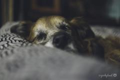16/52 - sleeping angel (yookyland) Tags: 52weeksfordogs 2018 misty 1652 senior dog sleeping peace