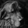 Let Sleeping Dogs Lie (John Neziol) Tags: jrneziolphotography portrait animal animalphotography goldenretriever fieldretriever retriever dog dognose sleepingdog closeup cute brantford beautiful nikon blackwhite monochrome mammal nikondslr nikond80 nikoncamera naturallight lowkey love