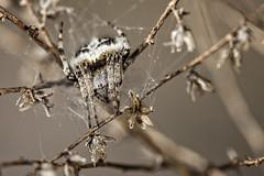 Agalenatea redii (Jaume Bobet) Tags: etiquetas agalenatea redii araña macro bobet canon sigma