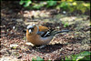 Chaffinch (dave101saunders (djsphotographicimages.com)) Tags: chaffinch finch bird avian feathers feather ground feeding