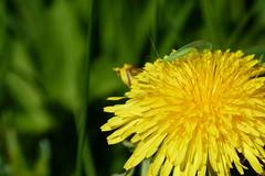 Green lacewing (evisdotter) Tags: greenlacewing gulögonslända chrysoperlacarnea insect maskros dandelion macro bokeh light sooc nature