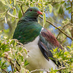 Kereru/NZ Wood Pigeon thumbnail