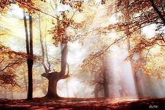 Urkiola... no es un jardín nipón con esas hayas (Jabi Artaraz) Tags: hayedo urkiola árboles niebla luz sol sun light