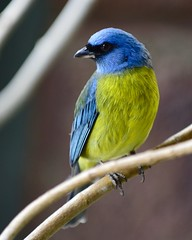 Blue & Yellow Tanager #2 (R.A. Killmer) Tags: blue yellow bright beauty beak bokeh kingdom bird feathers talons ontario canada fly