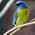 Blue & Yellow Tanager #2 thumbnail