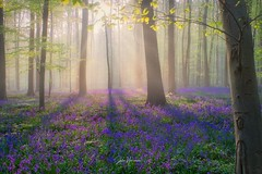 Mistical morning in Hallerbos, Belgium. (Jochem.Herremans) Tags: scenery tree beauty outside purple bluebells vlaanderen outdoors brabant wood day flanders wild landscape trees halle bluebell flowers white magic hallerbos common natural path early countryside sun leaves forest spring blue nature beech place scenic hyacinthoides europe flemish belgium flower hyacinths european background season colorful green sunny sunlight nonscripta beautiful