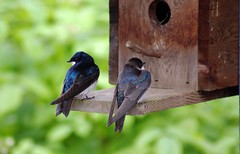 sweet swallows (Amboire) Tags: tachycinetabicolor tachycineta photo photograph picture image amboire ambergraham grahamedia swallow treeswallow birdhouse