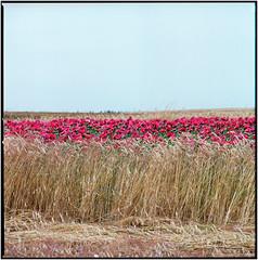 Getreide und Mohn_Hasselblad (ksadjina) Tags: 6x6 carlzeisstessar350mmf156 hasselblad500cm kodakportra160 mohnblüte nikonsupercoolscan9000ed silverfast waldviertel analog film scan
