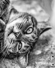 Je suis fatiguée (Un instant.) Tags: chat cat animal bnw mycat meow meows 50mm canon eyes félin nature tired cute