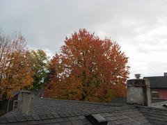 11-05-17 Dayton 75 leaves, fall color (Chicagoan in Ohio) Tags: dayton clouds sun sunhalo leaves fallcolor